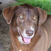 Labrador Retriever/Pointer Mix Dog for adoption in Iola, Texas - Tess