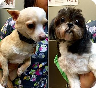 Shih Tzu/Chihuahua Mix Dog for adoption in Flushing, New York - Sophie and Kong