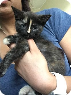 Domestic Shorthair Kitten for adoption in Anaheim Hills, California - Anastasia