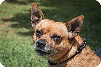 Miniature Pinscher/Pug Mix Dog for adoption in St Helena, California - Robbie