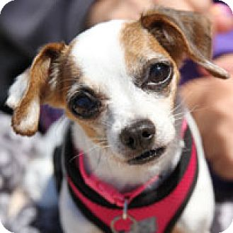 Chihuahua Dog for adoption in Pacific Grove, California - Ginger