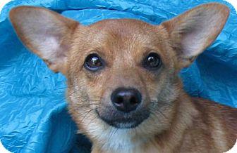 Dachshund/Chihuahua Mix Dog for adoption in Cuba, New York - Tiernan Smokey