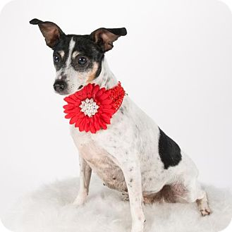 Rat Terrier Dog for adoption in St. Louis Park, Minnesota - Vicki
