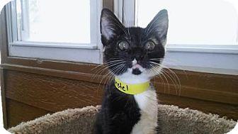Domestic Mediumhair Kitten for adoption in Atlanta, Georgia - Gretel