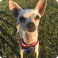 Chihuahua/Terrier (Unknown Type, Small) Mix Dog for adoption in Montpelier, Vermont - Alsie