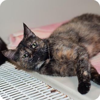 Domestic Shorthair Cat for adoption in Fairfax, Virginia - Bashful