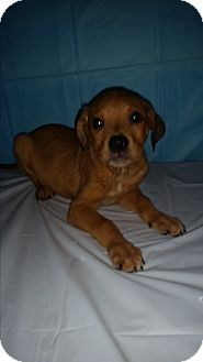 German Shepherd Dog/Labrador Retriever Mix Puppy for adoption in Baltimore, Maryland - Kirby-SUPER URGENT