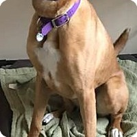 Adopt A Pet :: Scrappy - Palatine, IL