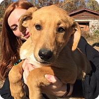 Collie/Labrador Retriever Mix Puppy for adoption in Harrisonburg, Virginia - Piper
