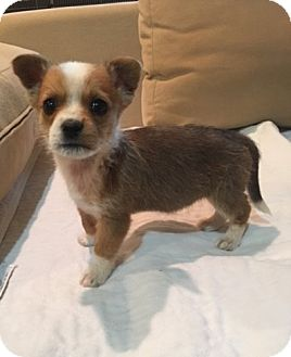 Terrier (Unknown Type, Small) Mix Puppy for adoption in Powder Springs, Georgia - Larry