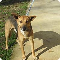 Adopt A Pet :: Adam - Rocky Mount, NC