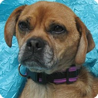 Adopt A Pet :: Honey Lancer - Cuba, NY