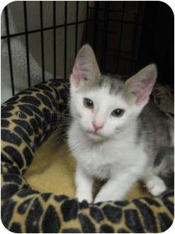 Domestic Shorthair Kitten for adoption in Modesto, California - Comet