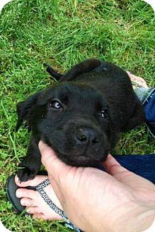 Labrador Retriever Mix Puppy for adoption in Richmond, Virginia - Missy