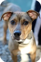 Terrier (Unknown Type, Medium) Mix Puppy for adoption in Tinton Falls, New Jersey - Chic