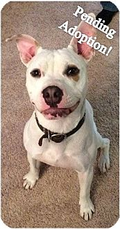 American Pit Bull Terrier Mix Dog for adoption in Sacramento, California - Stitch - Pending Adoption!!