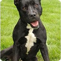 Adopt A Pet :: Smores - Chicago, IL
