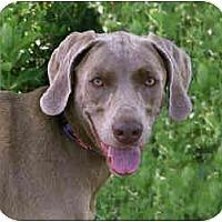 Adopt A Pet :: Vladi - Attica, NY