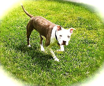 English Bulldog/Staffordshire Bull Terrier Mix Dog for adoption in Los Angeles, California - Adorable Sadie