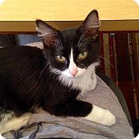 Adopt A Pet :: Sanji - St. Louis, MO