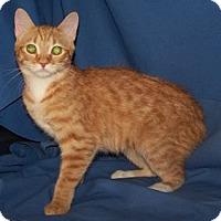 Adopt A Pet :: K-Kameron1-Gidget - Colorado Springs, CO