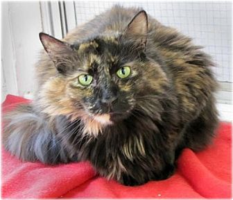 Domestic Mediumhair Cat for adoption in Huntington, New York - Vanessa
