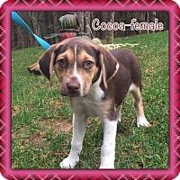 Adopt A Pet :: Cocoa - Harmony, Glocester, RI