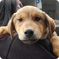 Adopt A Pet :: Nicolai - Brooklyn, NY