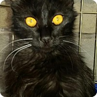 Domestic Mediumhair Cat for adoption in Glendale, Arizona - Alice