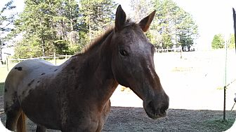 Appaloosa Mix for adoption in Lovettsville, Virginia - Star