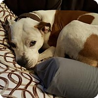 American Staffordshire Terrier Dog for adoption in Fulton, Missouri - Mama-Massachusetts