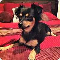 Adopt A Pet :: Priya - Phoenix, AZ