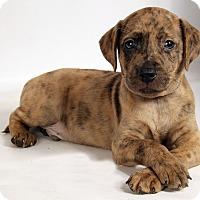 Adopt A Pet :: Sawyer Catahoula mix - St. Louis, MO
