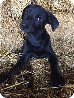 Labrador Retriever Mix Puppy for adoption in Hamburg, Pennsylvania - Dodson
