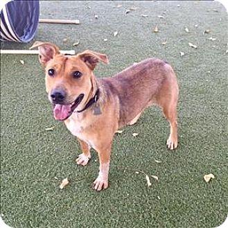Shepherd (Unknown Type)/Australian Cattle Dog Mix Dog for adoption in Riverside, California - Bailey