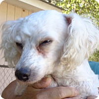 Bichon Frise Dog for adoption in Crump, Tennessee - Shadow