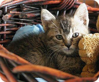 Domestic Shorthair Kitten for adoption in Sherman Oaks, California - Greta