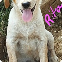 Australian Cattle Dog/Beagle Mix Puppy for adoption in Albany, North Carolina - Rita