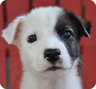 Jack Russell Terrier/Terrier (Unknown Type, Small) Mix Puppy for adoption in Hagerstown, Maryland - Sailor
