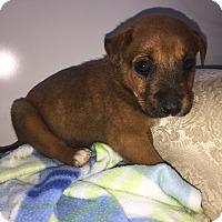 Adopt A Pet :: Coke - Gallatin, TN