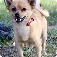 Adopt A Pet :: Bear - Waldorf, MD
