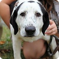 Adopt A Pet :: Moose~meet me! - Glastonbury, CT