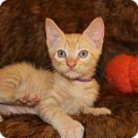 Adopt A Pet :: Thanksgiving: Pumpkin Pie - Palo Alto, CA