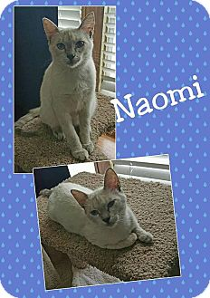 Siamese Cat for adoption in North Richland Hills, Texas - Naomi