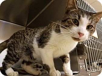 Domestic Shorthair Cat for adoption in Windsor, Virginia - Felix