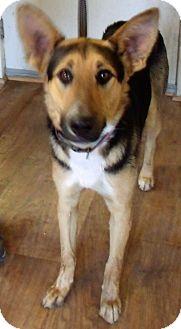 German Shepherd Dog Puppy for adoption in Corona, California - BONNIE