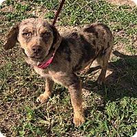 Adopt A Pet :: Chalupa - Allen, TX