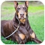Photo 2 - Doberman Pinscher Dog for adoption in Santee, California - Zorro