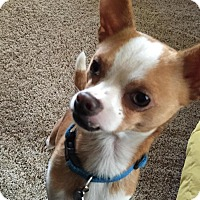 Adopt A Pet :: Topol - Gig Harbor, WA