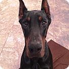 Adopt A Pet :: Eli